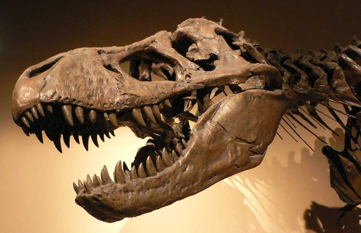A reconstructed dinosaur skull with two rows of sharp teeth visible. Several vertebrae can be seen extending from the base ofthe skull. - click to view larger image