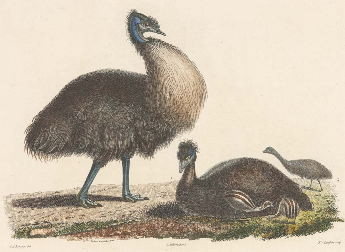 Two emus with three young chicks. - click to view larger image