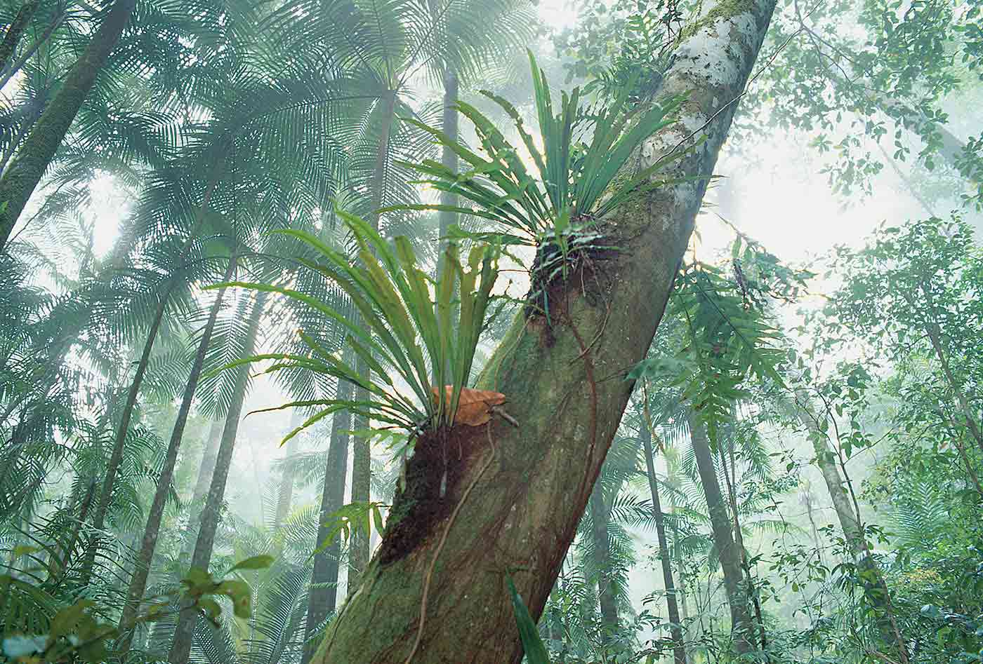 A closeup photo of tall tropical rainforest trees. The closest tree has two large leafy plants growing on its trunk. The atmosphere looks steamy.