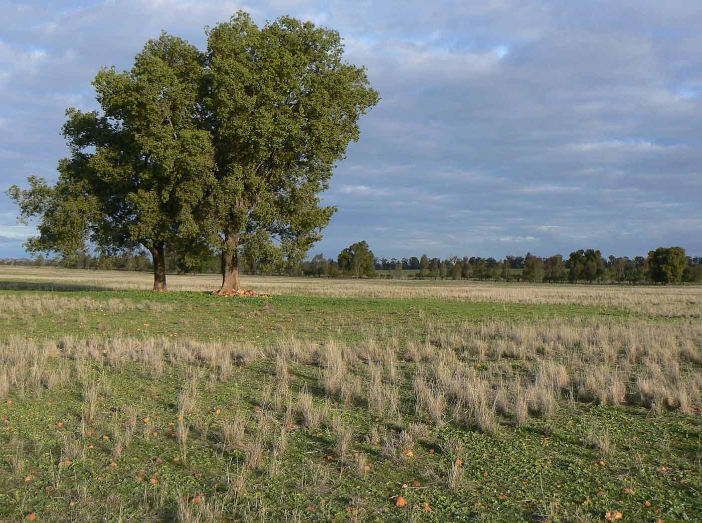 Australian farmland featuring a pair of kurrajong trees.