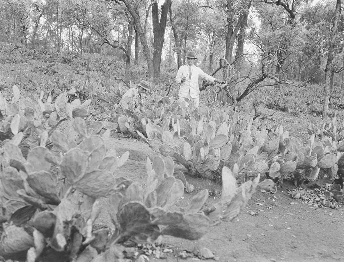 A man dressed in a light-coloured suit, wearing a hat, and holding a pipe, stands in a large patch of low plants with large spikes. Another man kneels beside him in the field.