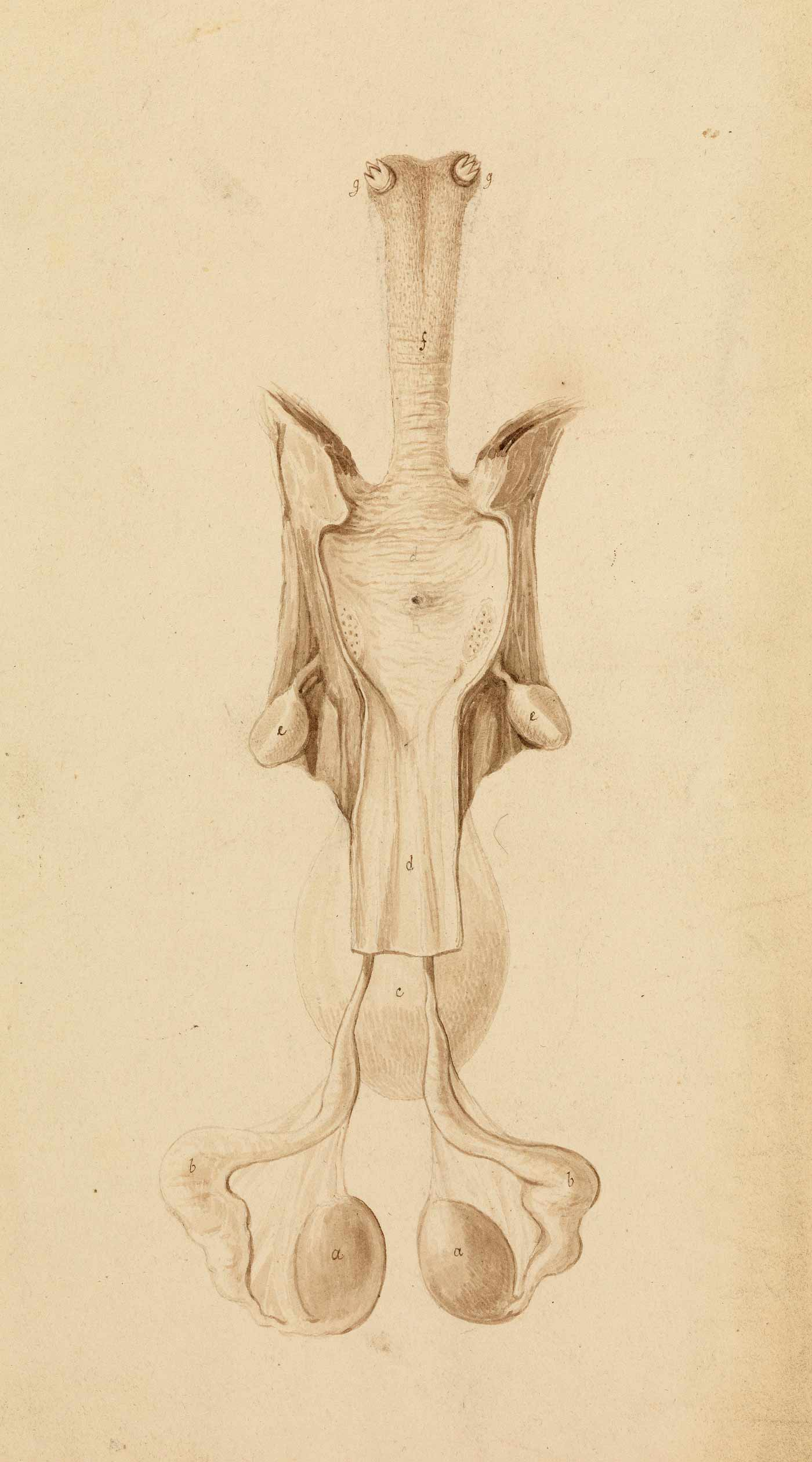 A drawing of a platypus' reproductive organs. - click to view larger image