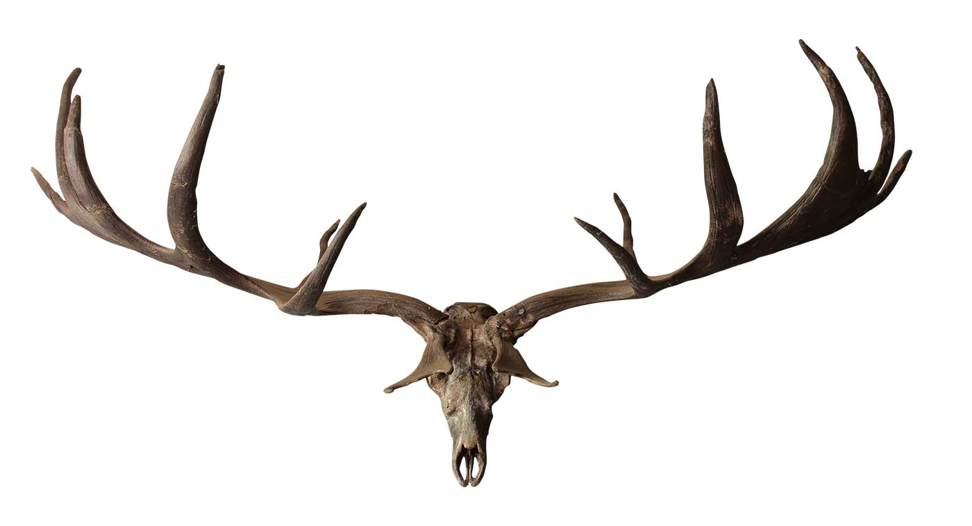 Antlers and skull of an elk.