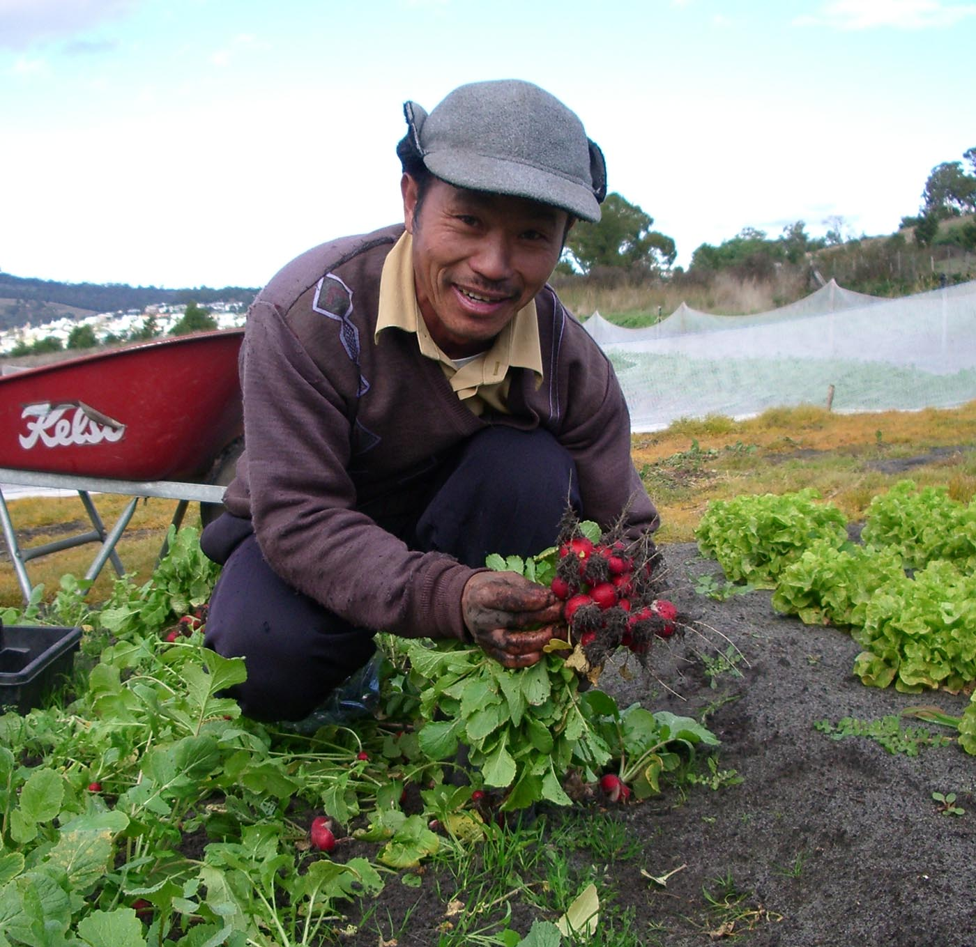 Colour photo of a man harvesting radishes. - click to view larger image