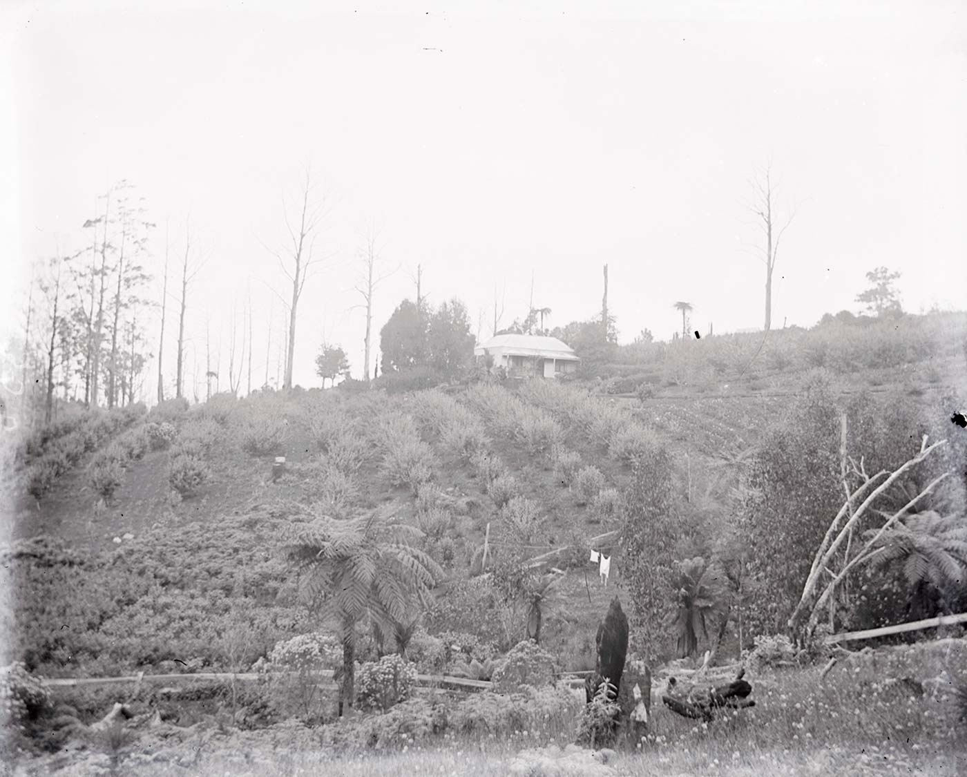 A photographic glass plate negative showing a small single-story house on a slight hill surrounded by rows of crops. The horizon is sloped, and there are ferns in the background. - click to view larger image