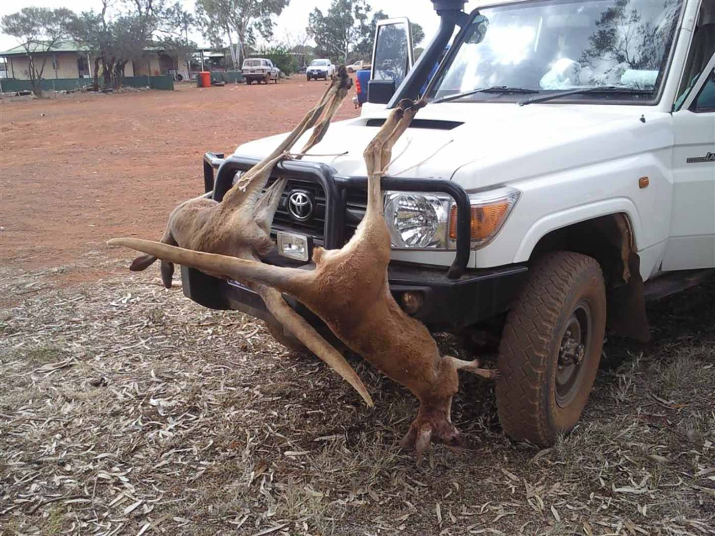 Two kangaroo corpses attached to the black bullbar of a white 4WD.