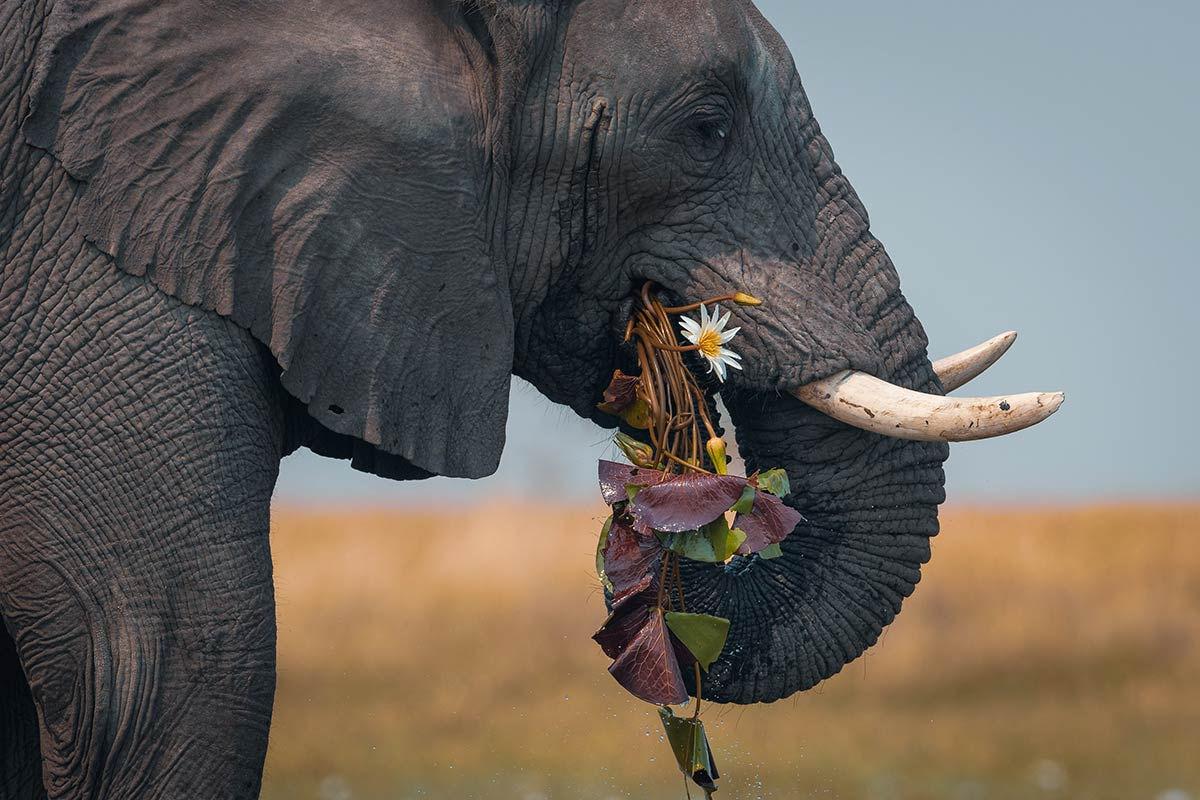 A side-profiled photo of the head, trunk and tusks of a grey elephant that appears to be looking towards the camera while devouring a bunch of lily-pad type leaves and one white flower. - click to view larger image