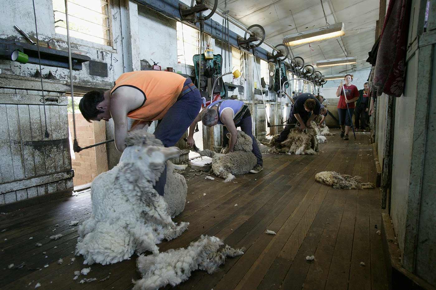 Shearers at work shearing sheep. - click to view larger image