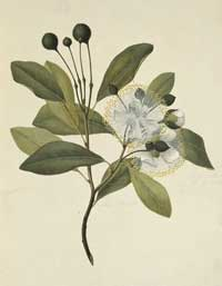 Watercolour of Capparis lucida