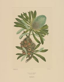 Colour illustration of a plant  with serrated leaves, cylindrical flower head and seed pod.