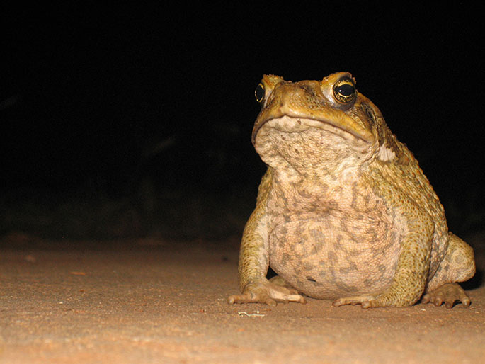 a cane toad sitting on flat surface at night