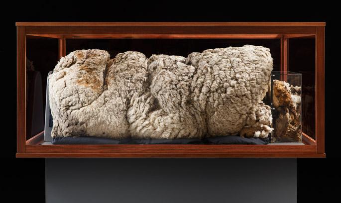 Chris the Sheep's fleece on display