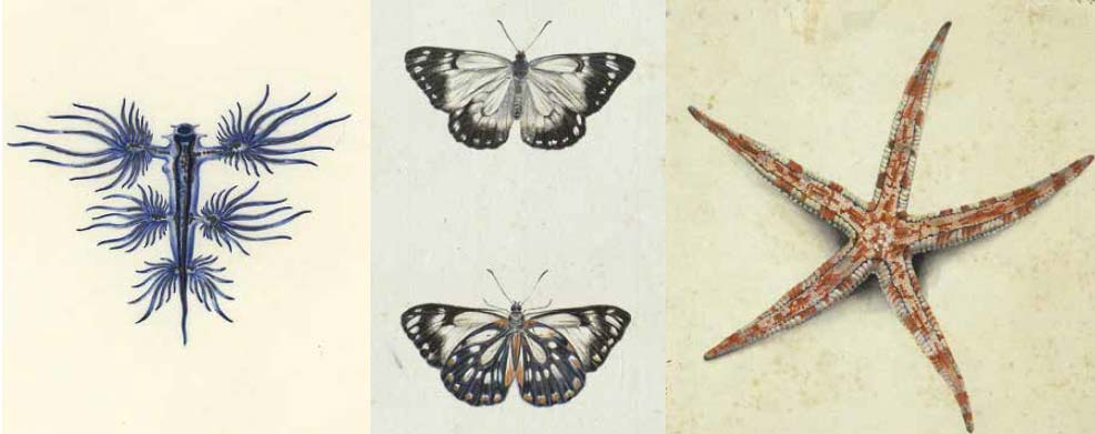 Image compile showing illustrations of a blue sea slug, two butterflies and a starfish.