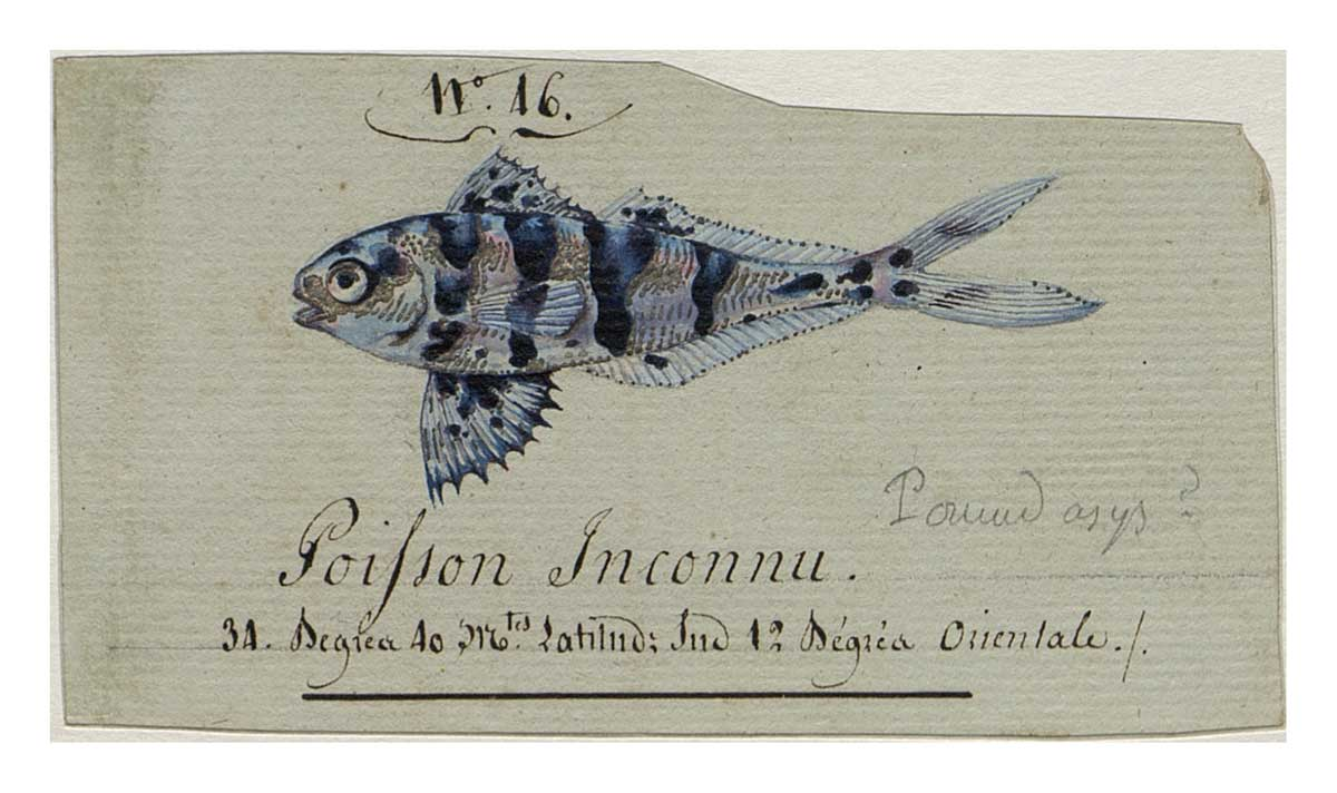 Fish Nomeus albula by Charles-Alexandre Lesueur in the logbook of Nicolas Baudin. Watercolour, ink, silver paint and pencil on paper. This work is mounted with an additional backing folio, which features notations in French including the number '4' in iron gall ink and '3A' in graphite. - click to view larger image