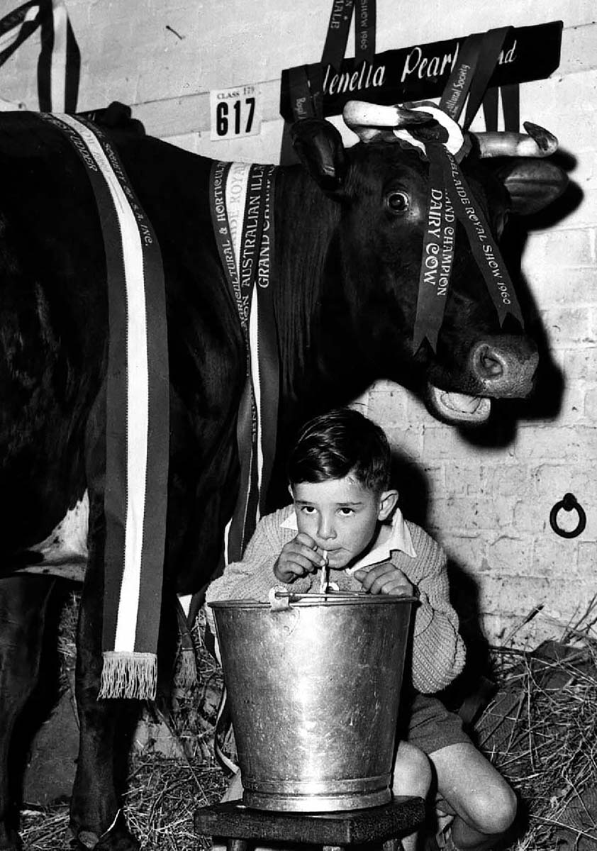 A boy drinking milk from a bucket, with a cow at rear. - click to view larger image