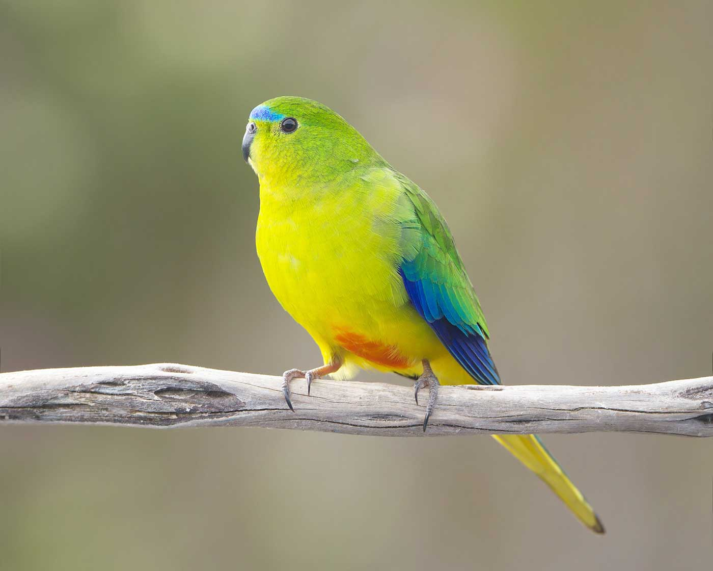 A small parrot with bright yellow feathers on its breast, blue feathers between its eyes and on its wings and a small patch of orange feathers on its underbelly. - click to view larger image