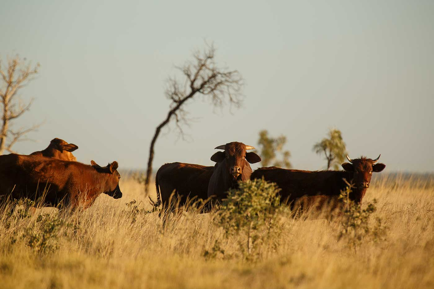 Colour photograph showing five animals in long grass. Two, with horns, are facing the camera.  - click to view larger image