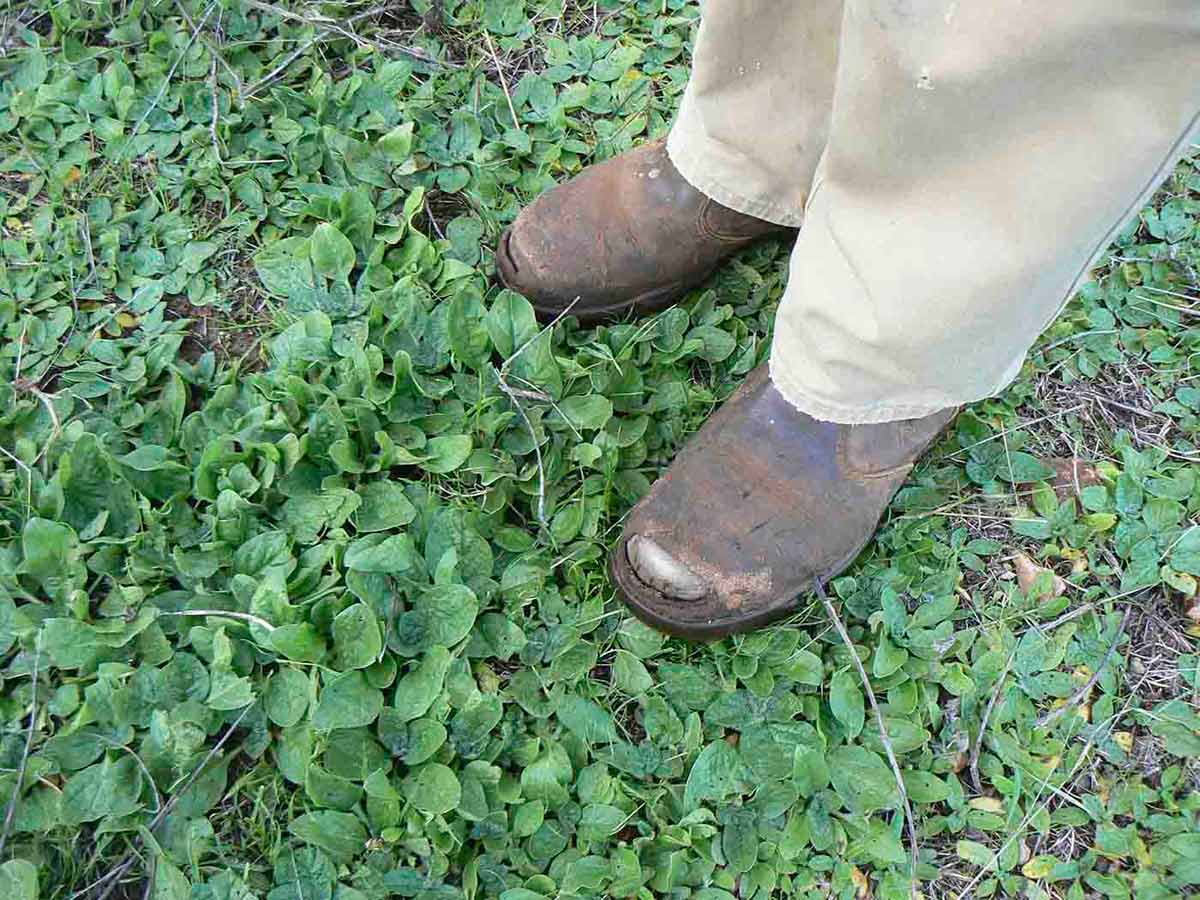 A person standing in a thick patch of Paterson's curse on Australian farmland.  Only the lower part of the person's legs is visible.