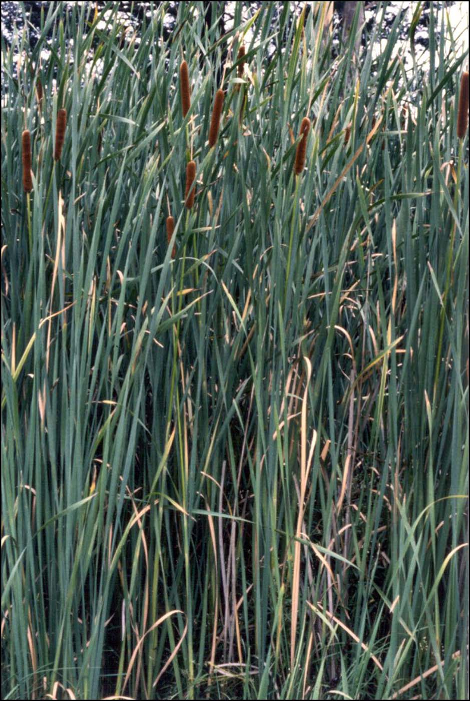 Reed-like plants, mainly pale green in colour, with brown flower spikes on the upper reaches of some. - click to view larger image