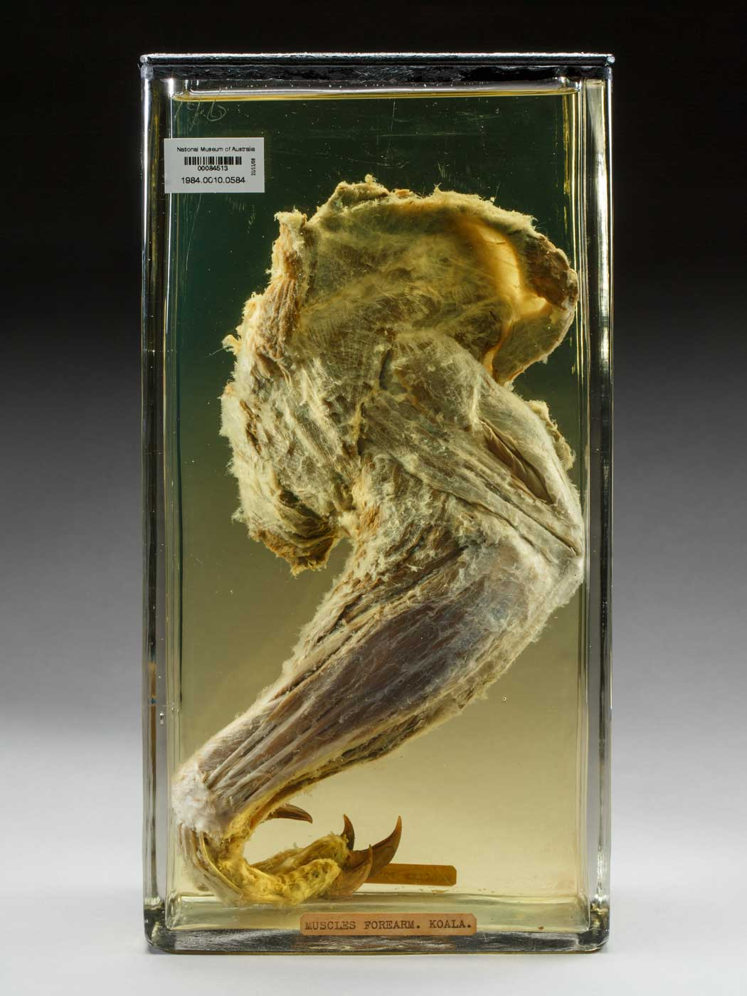 Wet specimen of an animal body part. - click to view larger image