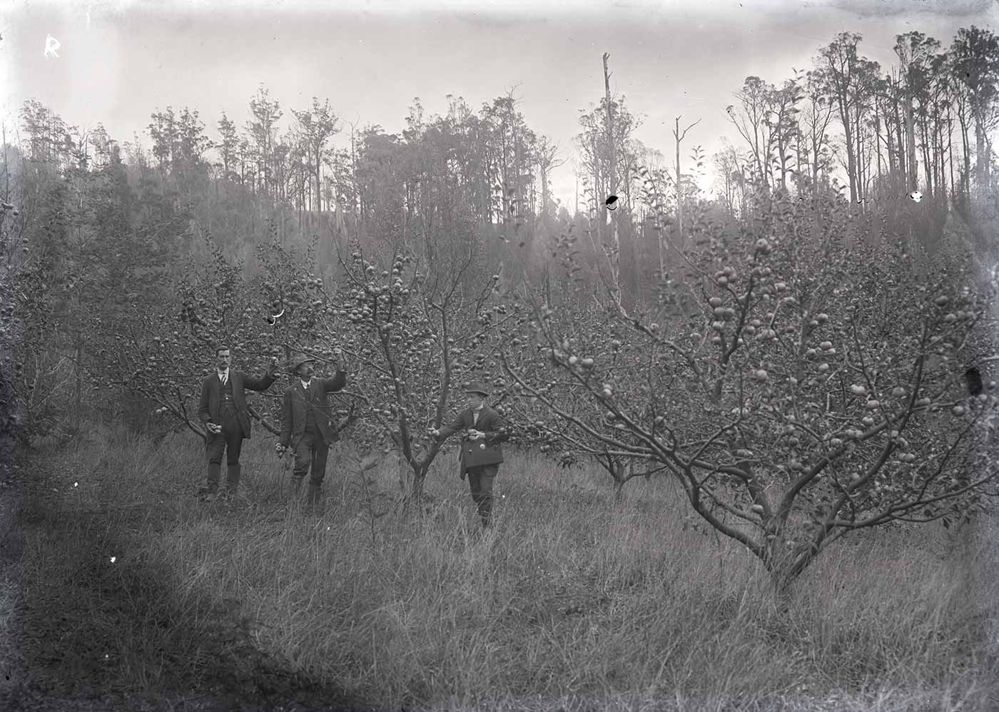 A photographic glass plate negative showing three men wearing suits and amongst fruit trees. The capital letter 'R' is etched in the top left-hand corner. - click to view larger image