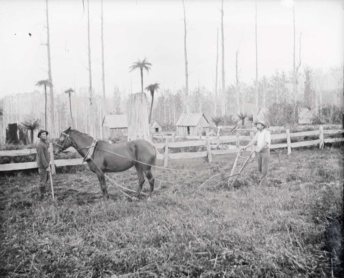 A photographic glass plate negative showing two men using a horse-drawn plough to till a field. In the background is a wooden fence, a large thick tree stump, and wooden buildings set amongst tall ferns. There is a slight yellow discolouration on the right side of the image. - click to view larger image