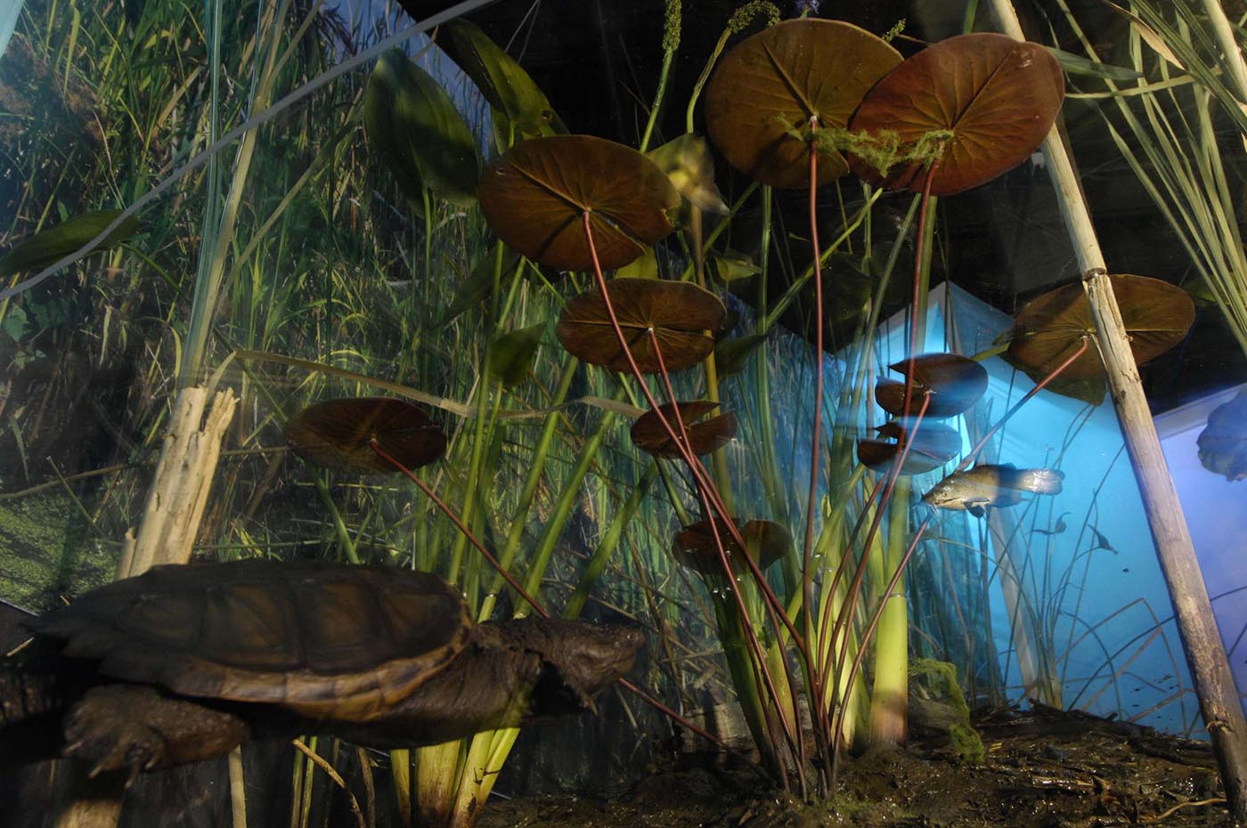 Diorama showing a turtle and fish swimming among water lilies and grasses.