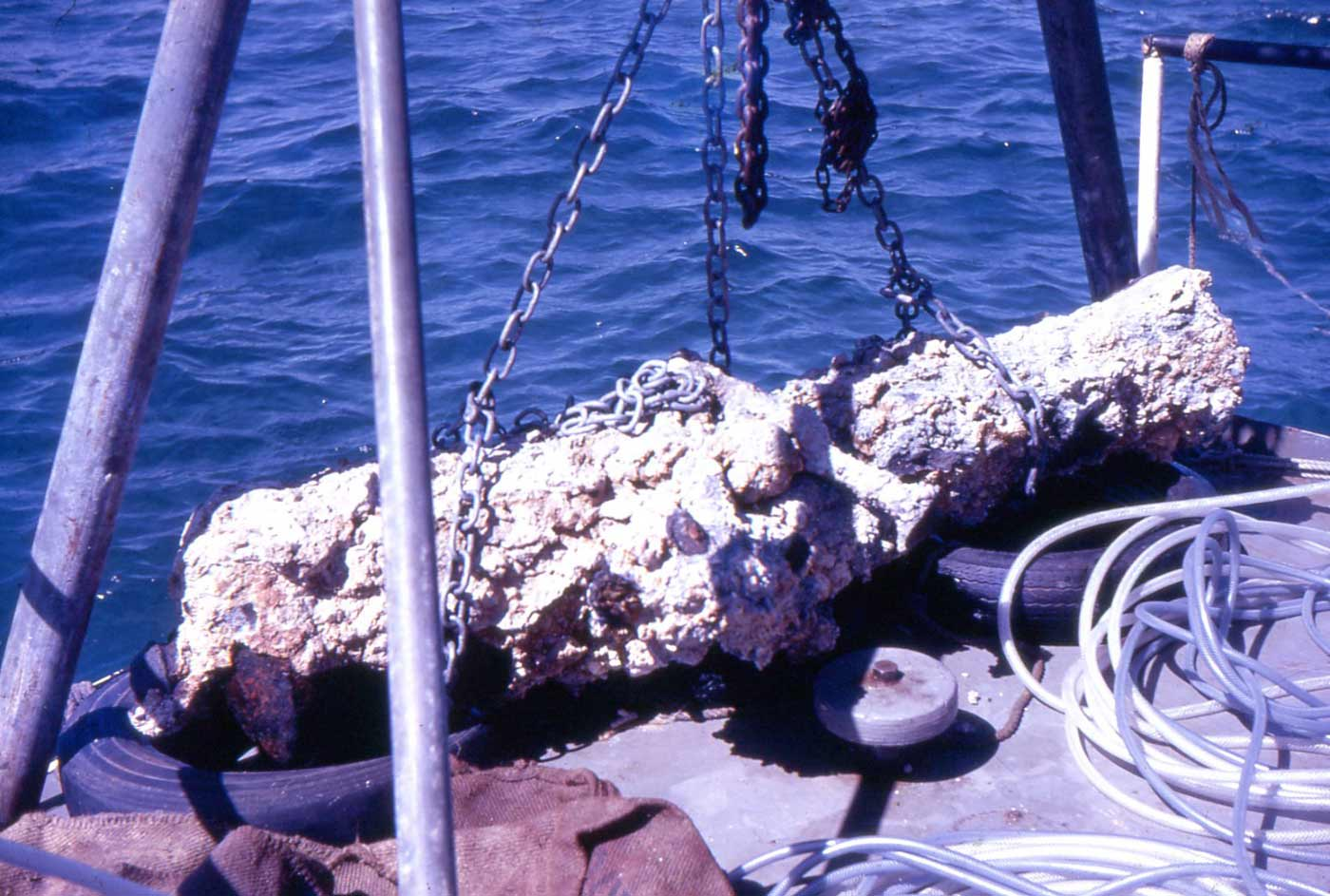 Colour photo of a cannon covered in coral and sediment after being lifted with chains from the sea. - click to view larger image
