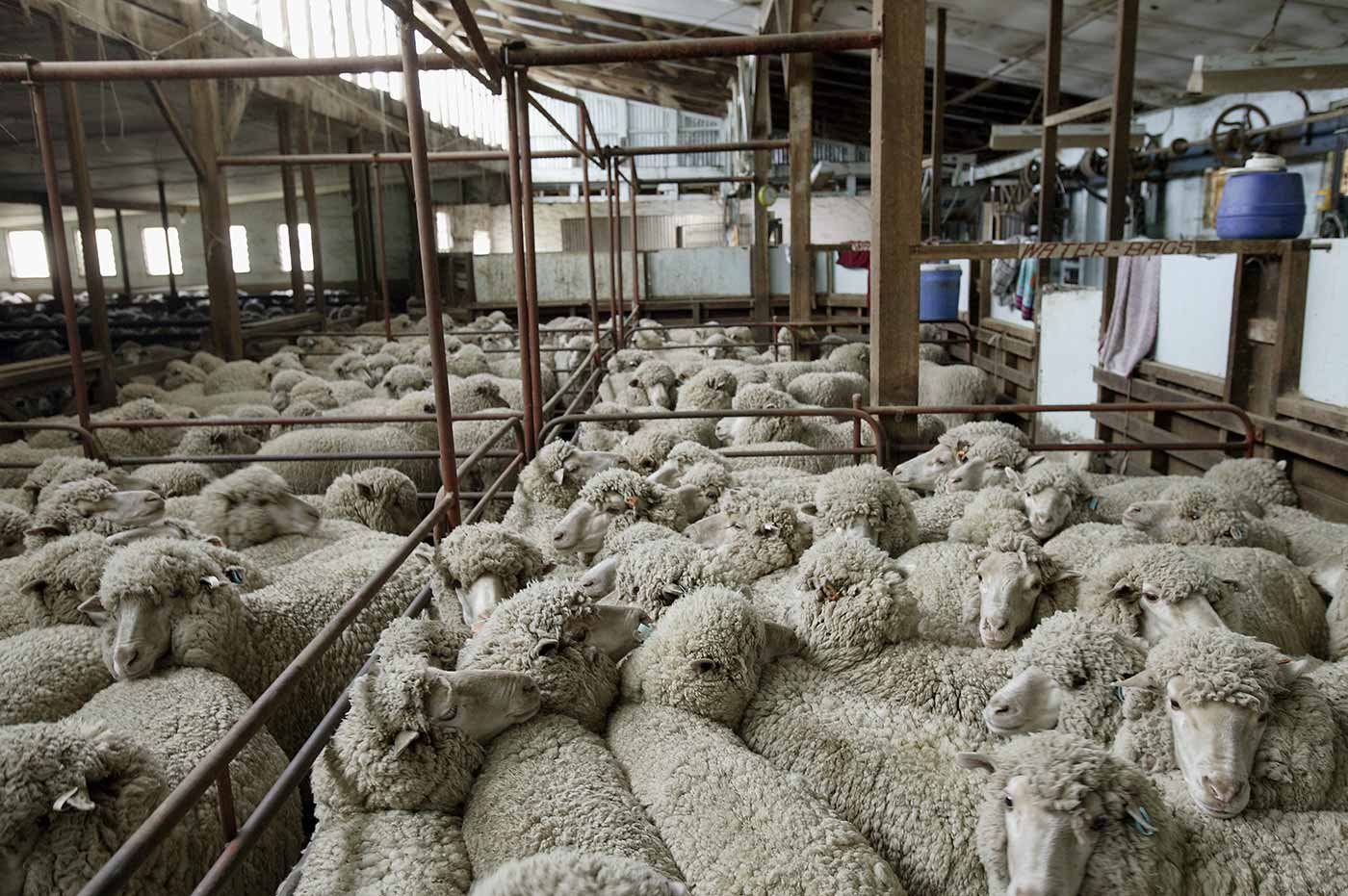 Sheep penned at the back of Springfield woolshed. - click to view larger image