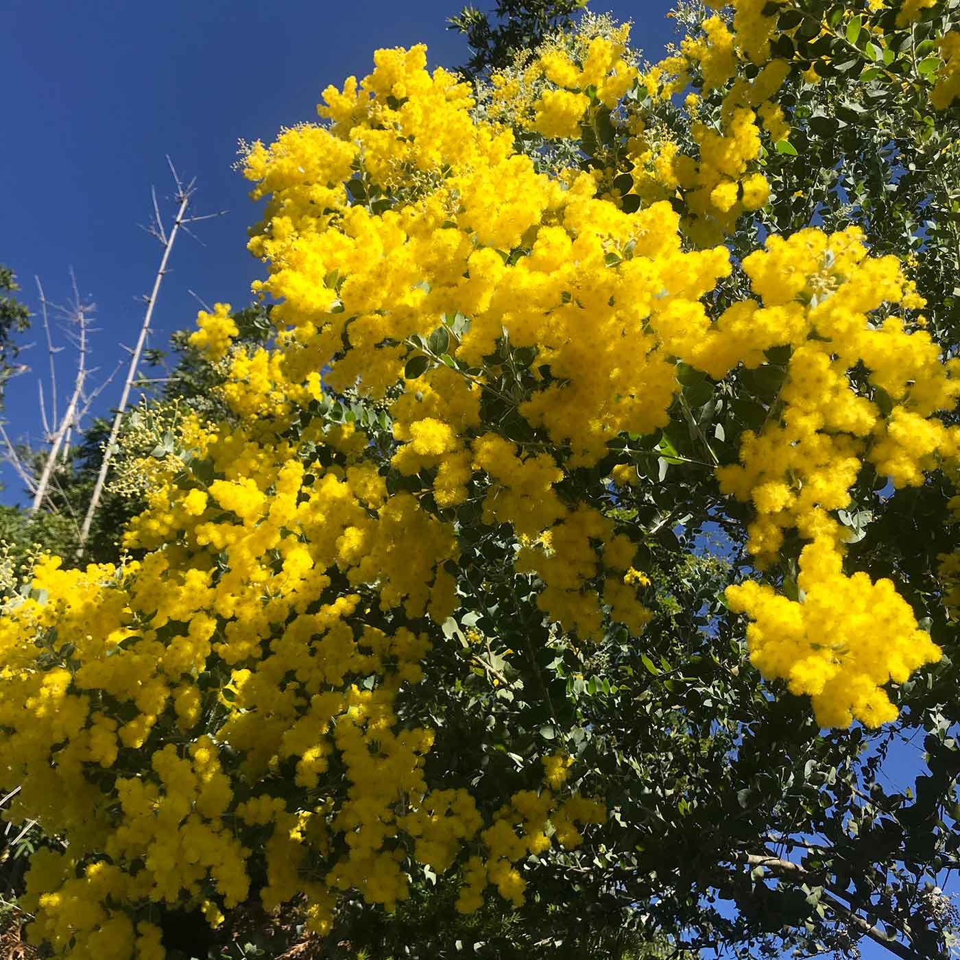 Wattle tree. - click to view larger image