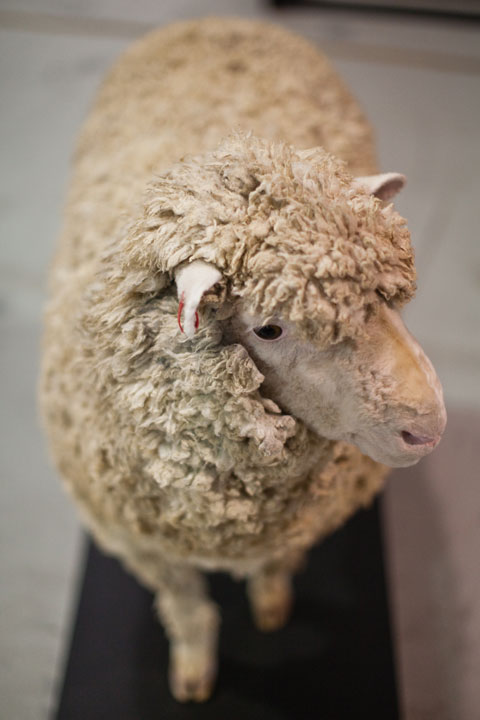 Sheep taxidermy.