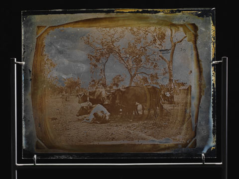 Glass plate showing a team of bullocks.