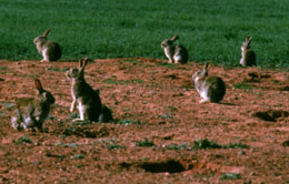 Rabbits. Courtesy Liz Poon, CSIRO
