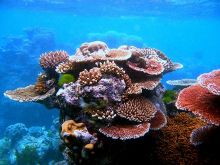 Colour photograph showing different varieties of coral growing on an underwater reef.