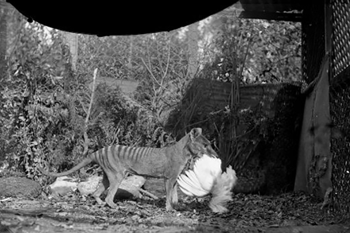 A black and white photo of a thylacine holding a bird in its mouth.