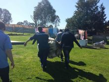 a photo of a very woolly sheep being carried by four people