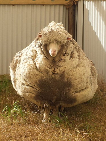 A very woolly sheep
