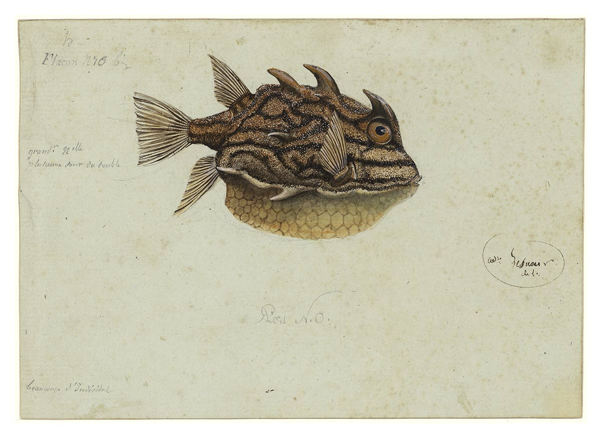 Fish Aracana sp. by Charles-Alexandre Lesueur. Gouache, brown ink and crayon on paper. - click to view larger image