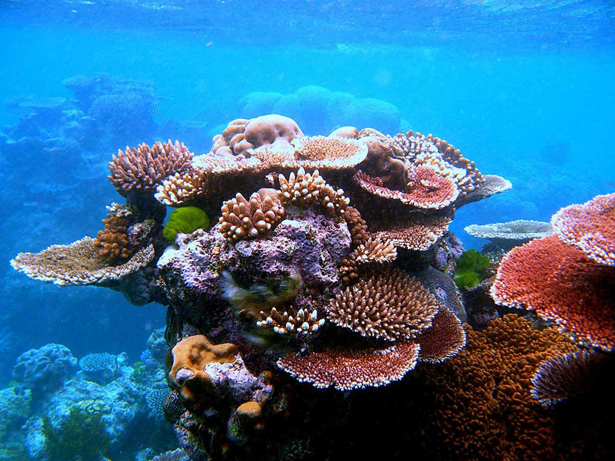 Colour photograph showing different varieties of coral growing on an underwater reef. - click to view larger image