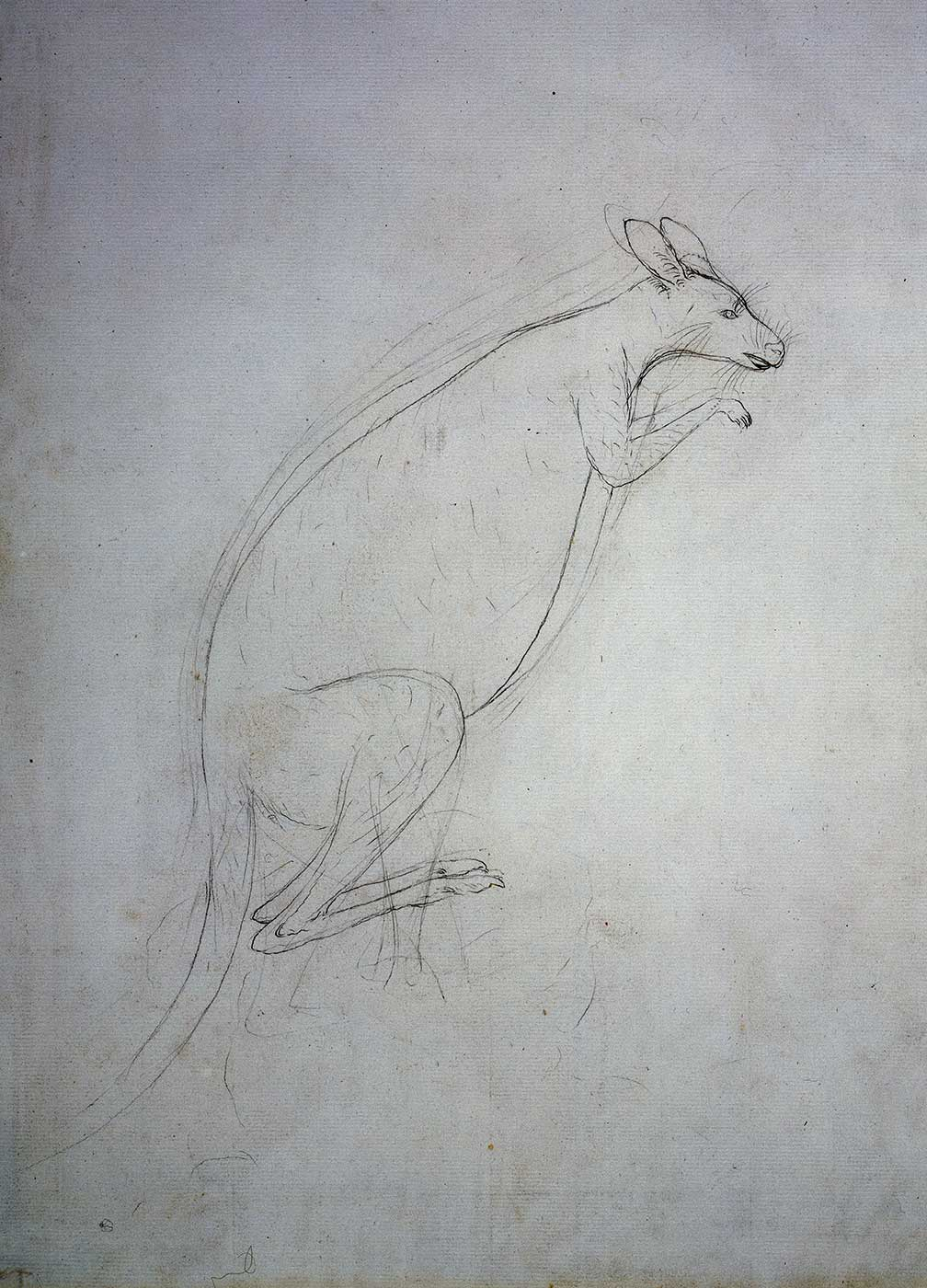 Rought sketch of a kangaroo. - click to view larger image
