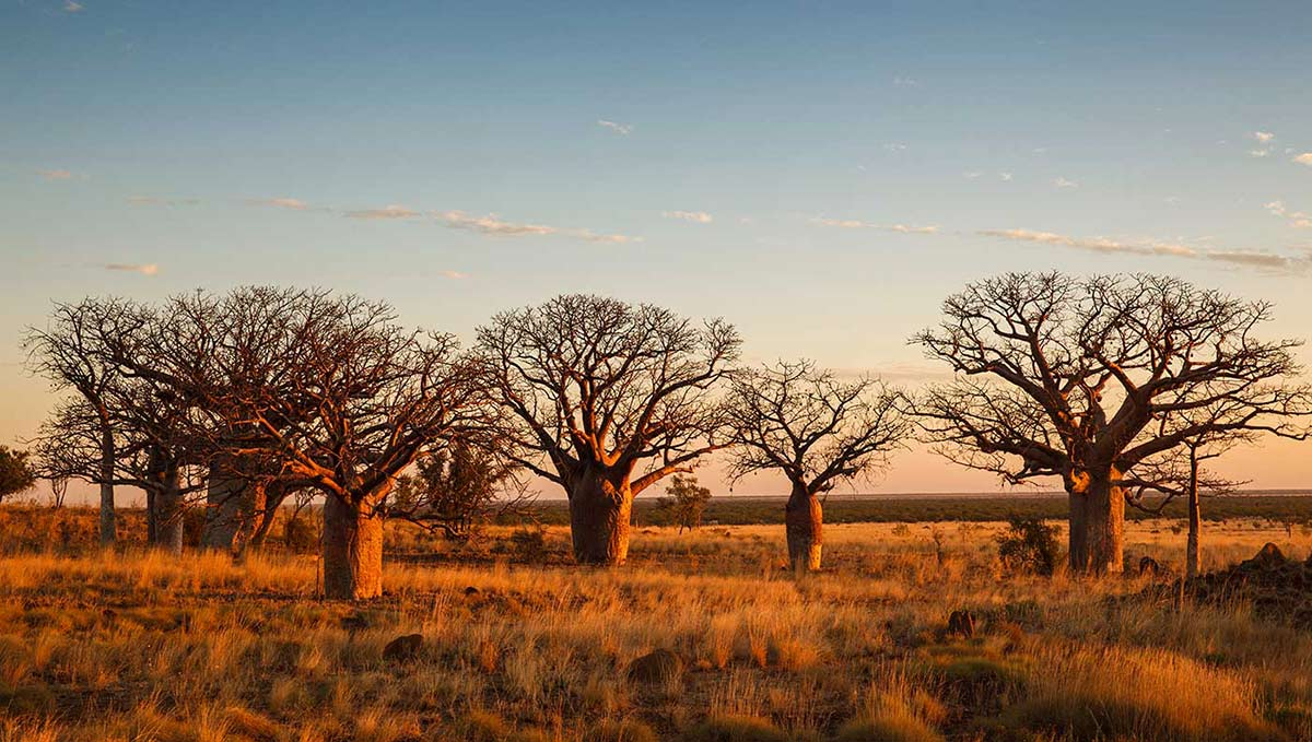 Colour photograph of six boab trees on a grassy plain. - click to view larger image
