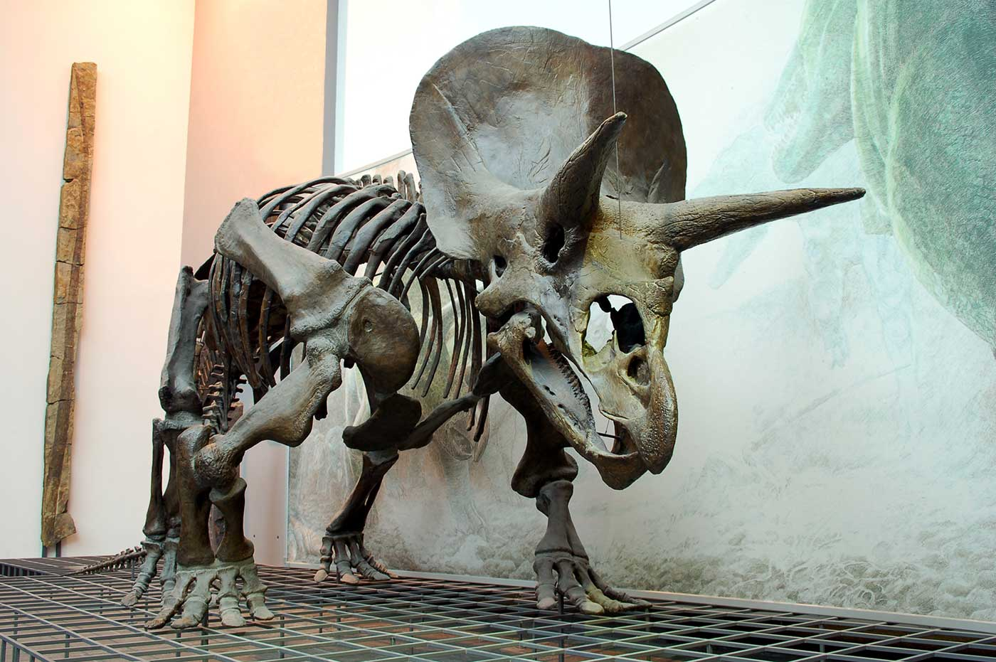 Reconstruction of a dinosaur skeleton on show in a gallery space. Two large horns and one smaller horn protrude from the dinosaur's head. - click to view larger image