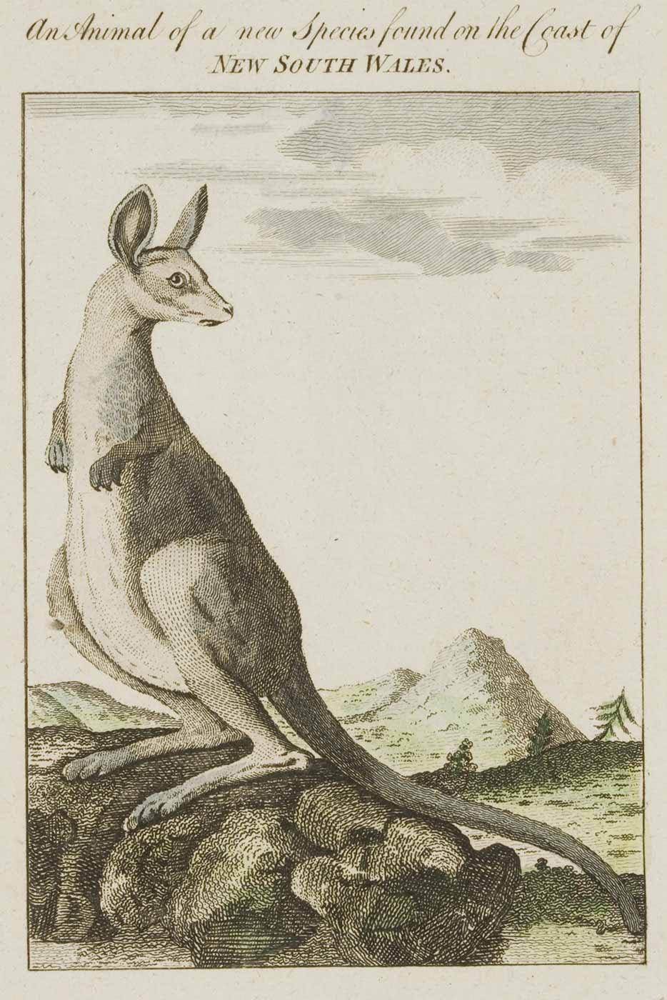 Image of kangaroo standing on a mound or rocks with mountains and trees in the background. Text across the top reads 'An Animal of a new Species found on the Coast of NEW SOUTH WALES.' - click to view larger image