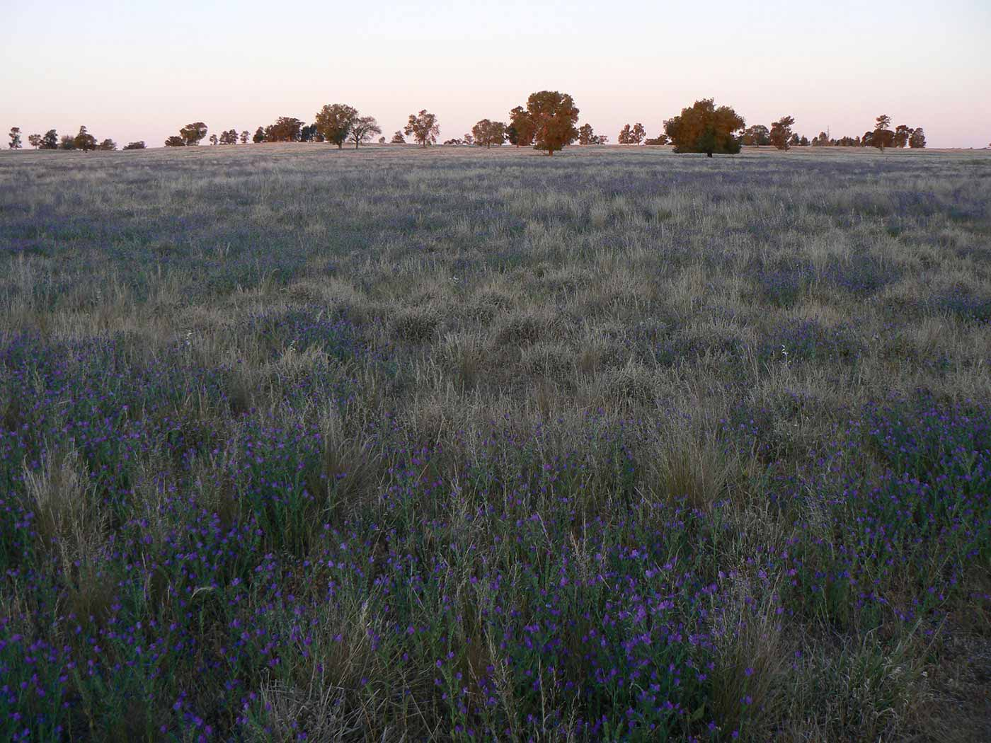 Australian farmland featuring dried grasses, purple flowers and large trees.