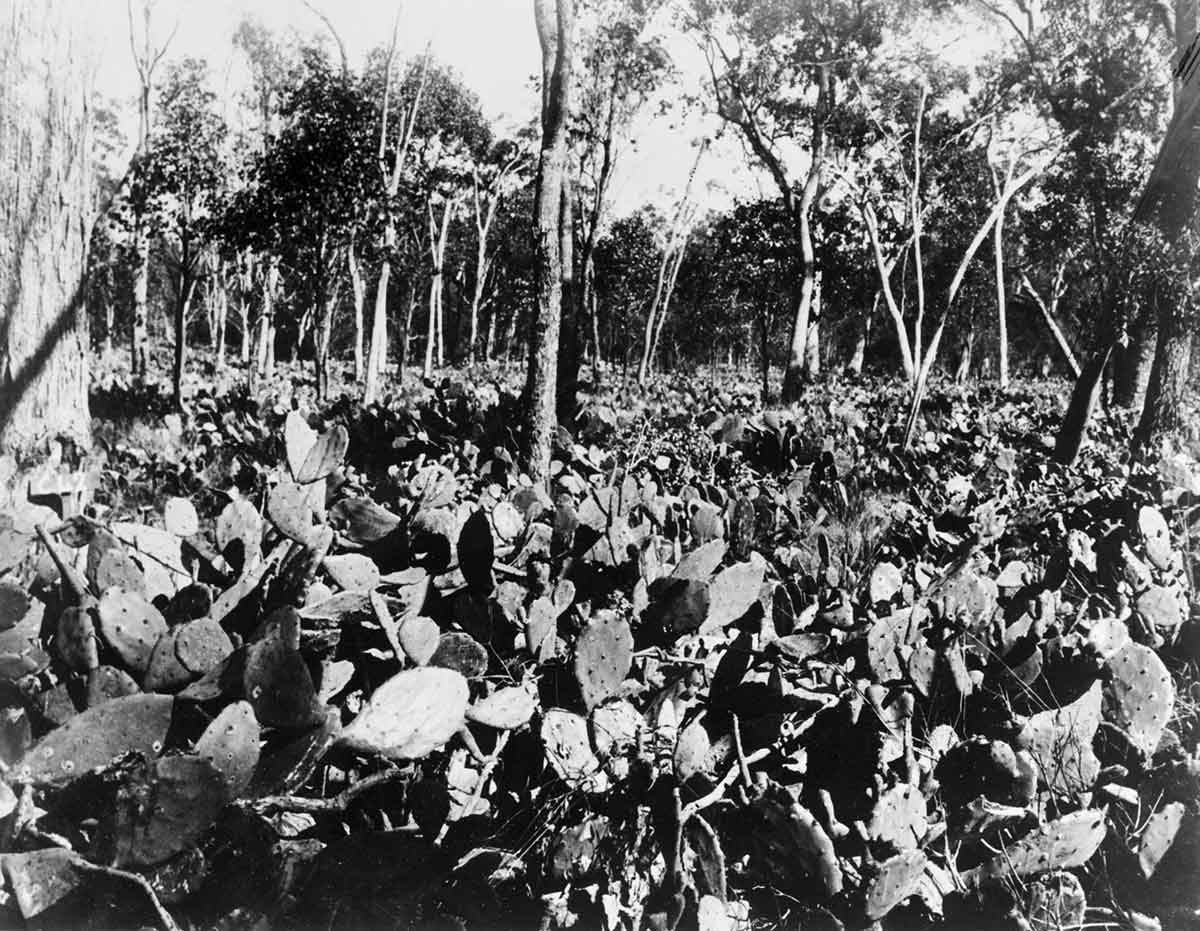 Black and white photo of dense cactus plants interspersed with small gum trees.