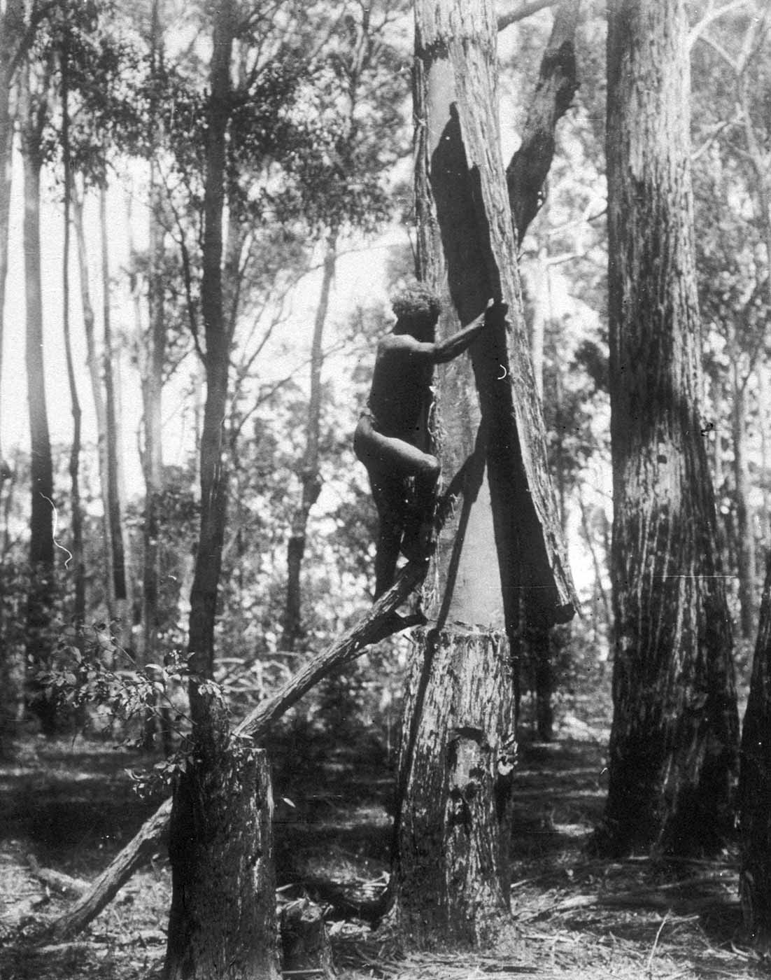 Black and white photograph of a man scaling a tree in bushland. - click to view larger image