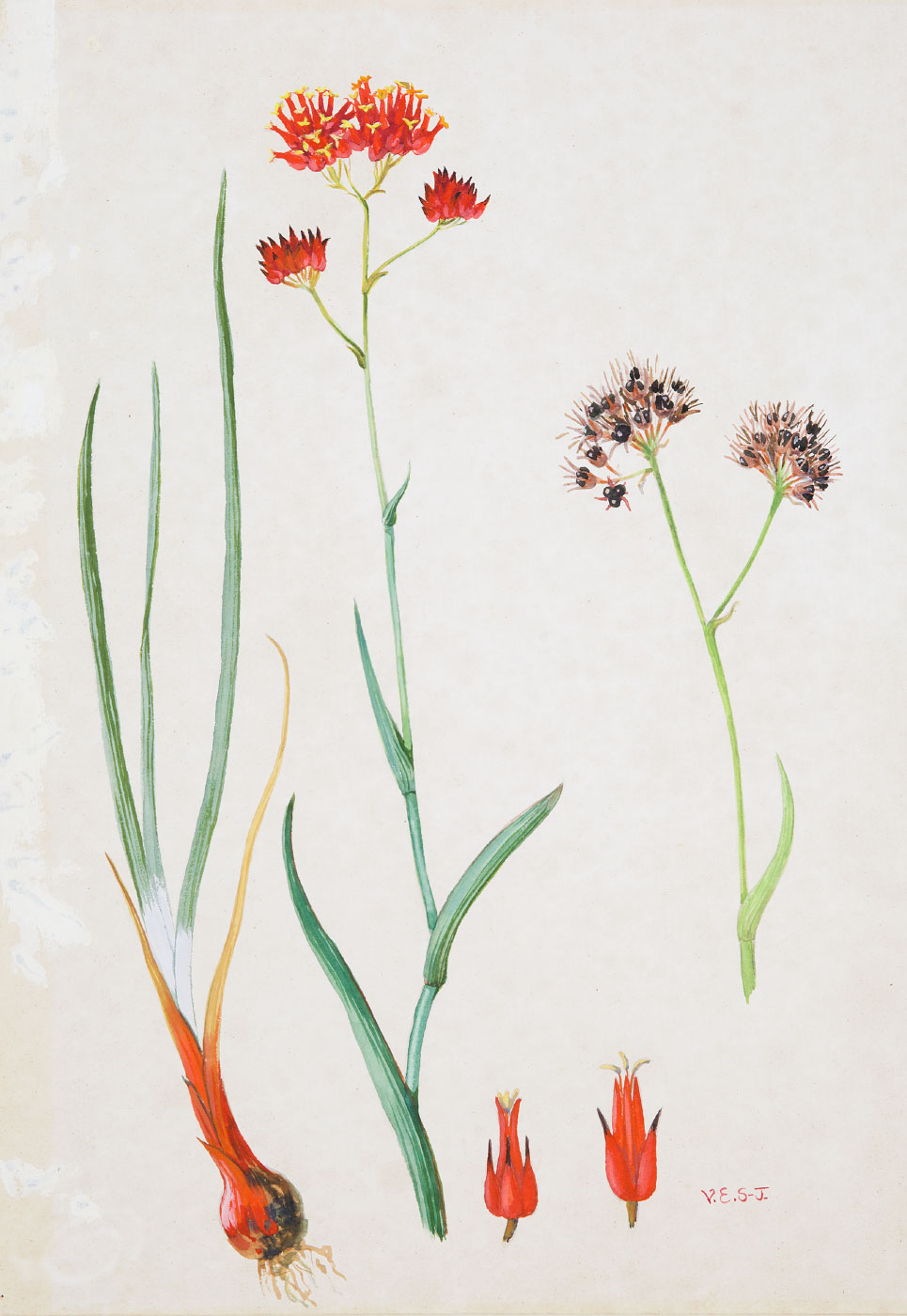 Painting of a flowering plant species with the initials V.E.S-J. - click to view larger image