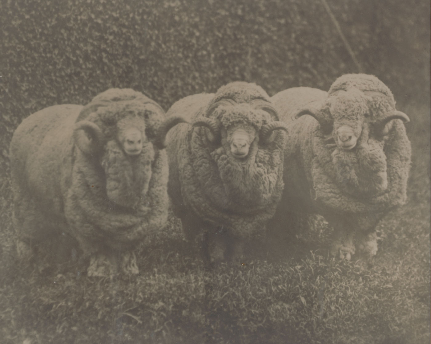 Black and white framed photograph of three very wooly rams.