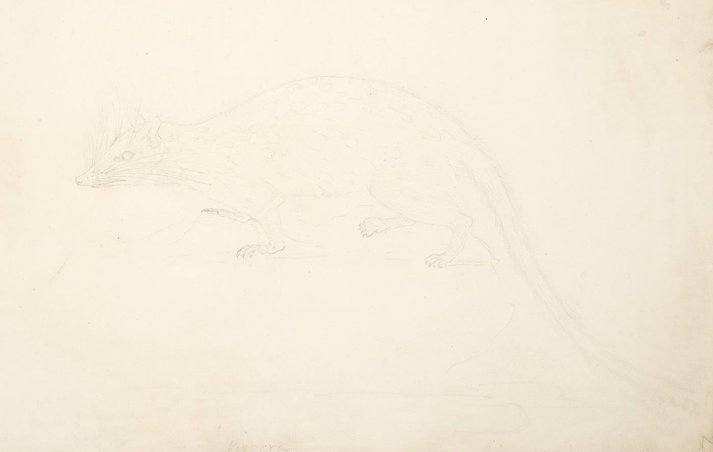 Drawing of a marsupial with a tapered nose and long tail. - click to view larger image