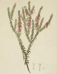 Epacris longiflora watercolour